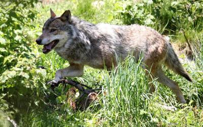 loup dans les bois d'heilly